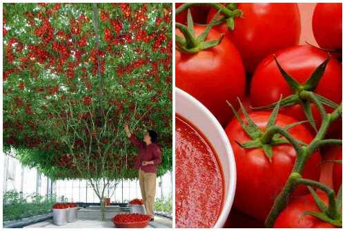 помидорное дерево и плоды